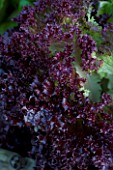 DESIGNER CLARE MATTHEWS: VEGETABLE/ POTAGER GARDEN PROJECT  DEVON: LETTUCE LLOLO ROSSO