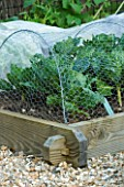 CLARE MATTHEWS DEVON - POTAGER/ VEGETABLE PROJECT - SAVOY CABBAGE TUNDRA IN RAISED WOODEN BED PROTECTED BY WIRE NETTING