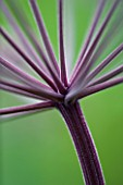 HUNTING BROOK  CO WICKLOW  REPUBLIC OF IRELAND: DESIGNER JIMI BLAKE - CLOSE UP OF THE STEM OF ANGELICA PURPUREA