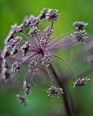 HUNTING BROOK  CO WICKLOW  REPUBLIC OF IRELAND: DESIGNER JIMI BLAKE - CLOSE UP OF ANGELICA PURPUREA