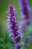 HUNTING BROOK  CO WICKLOW  REPUBLIC OF IRELAND: DESIGNER JIMI BLAKE - CLOSE UP OF FLOWER OF AGASTACHE LIQURISE BLUE