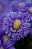 LADY FARM  SOMERSET: DESIGNER  JUDY PEARCE - CLOSE UP OF FLOWER OF ASTER NOVI BELGII PERCY THROWER. BLUE