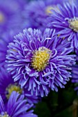 LADY FARM  SOMERSET: DESIGNER  JUDY PEARCE - CLOSE UP OF FLOWERS OF ASTER NOVI BELGII PERCY THROWER. BLUE