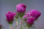 LADY FARM  SOMERSET: DESIGNER  JUDY PEARCE - CLOSE UP OF EMERGING BUDS OF FLOWERS OF ASTER NOVAE ANGLIAE ALMA POTSCHKE