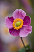 LADY FARM  SOMERSET: DESIGNER  JUDY PEARCE - PINK FLOWER OF ANEMONE HUPEHENSIS HADSPEN ABUNDANCE. 1/160 SECOND AT F3.5