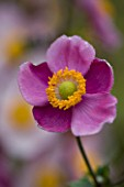 LADY FARM  SOMERSET: DESIGNER  JUDY PEARCE - PINK FLOWER OF ANEMONE HUPEHENSIS HADSPEN ABUNDANCE. 1/60 SECOND AT F5.6