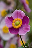 LADY FARM  SOMERSET: DESIGNER  JUDY PEARCE - PINK FLOWER OF ANEMONE HUPEHENSIS HADSPEN ABUNDANCE. 1/15 SECOND AT F11
