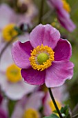 LADY FARM  SOMERSET: DESIGNER  JUDY PEARCE - PINK FLOWER OF ANEMONE HUPEHENSIS HADSPEN ABUNDANCE. 1/10 SECOND AT F16