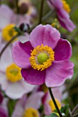 LADY FARM  SOMERSET: DESIGNER  JUDY PEARCE - PINK FLOWER OF ANEMONE HUPEHENSIS HADSPEN ABUNDANCE. 1/4 SECOND AT F22