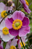 LADY FARM  SOMERSET: DESIGNER  JUDY PEARCE - PINK FLOWER OF ANEMONE HUPEHENSIS HADSPEN ABUNDANCE. 1/2 SECOND AT F32