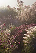 LADY FARM  SOMERSET: DESIGNER: JUDY PEARCE - EARLY MORNING LIGHT ON A BORDER WITH ANEMONE X HYBRIDA ELEGANS  PENNISETUM ALOPECUROIDES HAMELN AND SEDUM AUTUMN JOY