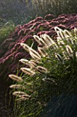 LADY FARM  SOMERSET: DESIGNER: JUDY PEARCE - EARLY MORNING LIGHT ON A BORDER WITH PENNISETUM ALOPECUROIDES HAMELN AND SEDUM AUTUMN JOY