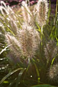LADY FARM  SOMERSET: DESIGNER: JUDY PEARCE - EARLY MORNING BACKLIGHTING ON PENNISETUM ALOPECUROIDES HAMELN