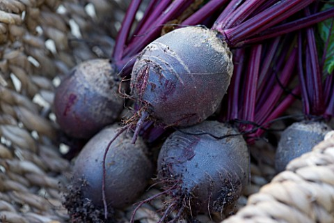 DESIGNER_CLARE_MATTHEWS_POTAGER_VEGETABLE_GARDEN__DEVON_BEETROOT_BOLTHARDY_IN_A_WICKER_BASKET_TRUG