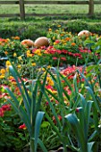 DESIGNER CLARE MATTHEWS: VEGETABLE GARDEN  DEVON: NASTURTIUMS PLANTED BESIDE LEEK PANCHO WITH PUMPKINS BEHIND