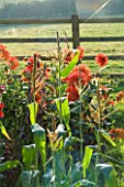 DESIGNER CLARE MATTHEWS: VEGETABLE GARDEN  DEVON: SWEETCORN LARK F1 HYBRID AND DAHLIA FIREBALL