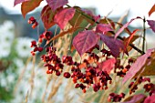 PETTIFERS GARDEN  OXFORDSHIRE: SEED PODS OF EUONYMUS PLANIPES IN AUTUMN