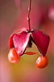 PETTIFERS GARDEN  OXFORDSHIRE: CLOSE UP OF SEED POD OF EUONYMUS PLANIPES IN AUTUMN