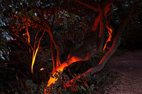 ABBOTSBURY_SUBTROPICAL_GARDEN__DORSET_TREES_LIT_UP_AT_NIGHT_IN_WINTER_WITH_RED_LIGHTING