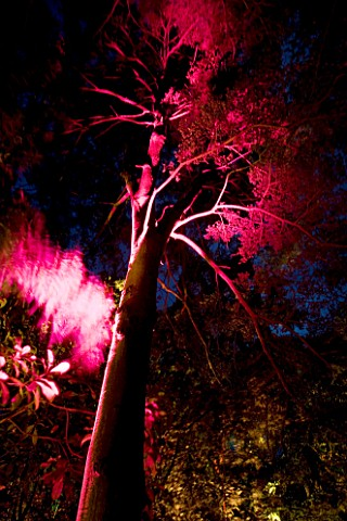 ABBOTSBURY_SUBTROPICAL_GARDEN__DORSET_PINKRED_UPLIGHTING_ON_TREE_AT_NIGHT