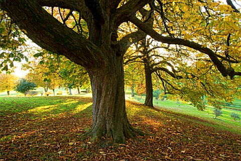 CASTLE_HILL__DEVON_BEAUTIFUL_HORSE_CHESTNUTS_AESCULUS_HIPPOCASTANUM_IN_AUTUMN_COLOUR_IN_THE_ARBORETU