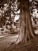 CASTLE HILL  DEVON: BLACK AND WHITE TONED IMAGE OF A YEW TREE IN THE ARBORETUM