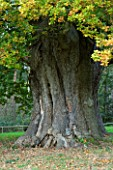 MARKS HALL  ESSEX :  THE HONYWOOD OAK TREE - THOUGHT TO BE 800 YEARS OLD