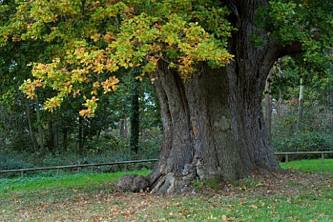 MARKS_HALL__ESSEX___THE_HONYWOOD_OAK_TREE__THOUGHT_TO_BE_800_YEARS_OLD