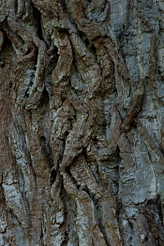 MARKS_HALL__ESSEX___CLOSE_UP_OF_THE_BARK_OF_THE_HONYWOOD_OAK_TREE__THOUGHT_TO_BE_800_YEARS_OLD