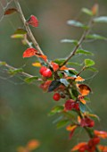 BODENHAM ARBORETUM  WORCESTERSHIRE: COTONEASTER AFFINIS VAR BACILLARIS IN AUTUMN. SHRUB  RED BERRY