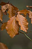 BODENHAM ARBORETUM  WORCESTERSHIRE: BRONZE  AUTUMN LEAF OF THE PURPLE BEECH - FAGUS SYLVATICA ATROPURPUREA GROUP