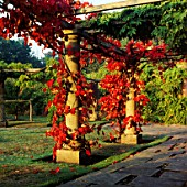 BRILLIANT AUTUMNAL COLOURS OF THE ORNAMENTAL GRAPE  VITIS COIGNETIAE  ADORN THE PERGOLA WALK AT PYRFORD COURT  SURREY