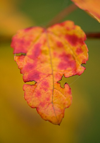 BODENHAM_ARBORETUM__WORCESTERSHIRE_YELLOW_AND_RED_LEAF_OF_ACER_PYCNANTHUM_IN_AUTUMN