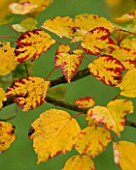 BODENHAM ARBORETUM  WORCESTERSHIRE: YELLOW AND RED LEAVES OF ACER PYCNANTHUM IN AUTUMN