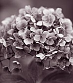 BODENHAM ARBORETUM  WORCESTERSHIRE: BLACK AND WHITE TONED IMAGE OF FLOWER OF HYDRANGEA MACROPHYLLA MOUSSELINE IN AUTUMN