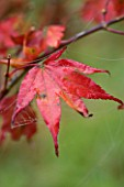 BODENHAM ARBORETUM  WORCESTERSHIRE: RED LEAF OF ACER PALMATUM TSUMABENI IN AUTUMN
