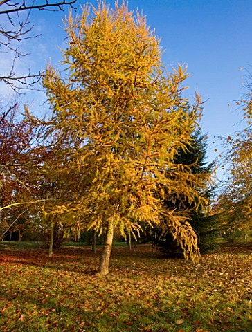 BODENHAM_ARBORETUM__WORCESTERSHIRE_AUTUMN_COLOURS_OF_A_LARCH_LARIX___AT_RYLANDS_GROVE