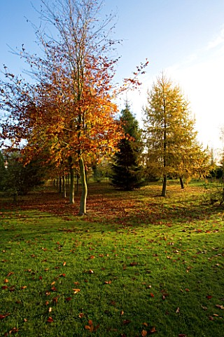 BODENHAM_ARBORETUM__WORCESTERSHIRE_AUTUMN_COLOURS_OF_A_LARCH_LARIX__AND_BEECH_TREES_AT_RYLANDS_GROVE