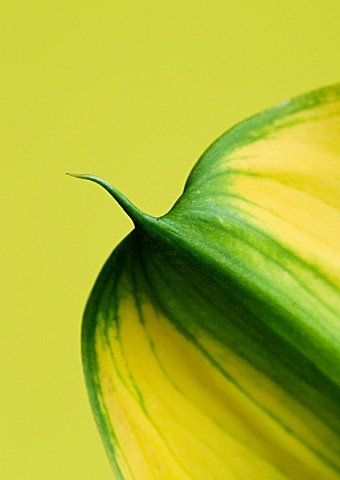 CLOSE_UP_OF_TIP_OF_YELLOW_CALLA_LILY_ZANTEDESCHIA_SP_AGAINST_YELLOW_BACKGROUND