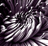 BLACK AND WHITE TONED IMAGE OF THE CENTRE OF A CHRYSANTHEMUM