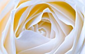 CLOSE UP MACRO OF CENTRE OF WHITE ROSE - TONED IMAGE