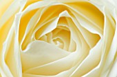 CLOSE UP MACRO OF CENTRE OF WHITE ROSE - YELLOW TONED IMAGE