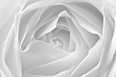 CLOSE UP MACRO OF CENTRE OF WHITE ROSE - BLACK AND WHITE TONED IMAGE