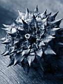 DRIED SEED HEAD OF CARDOON - STILL LIFE - BLACK AND WHITE TONED IMAGE