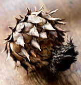 DRIED SEED HEAD OF CARDOON - STILL LIFE TONED IMAGE
