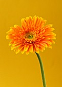 CLOSE UP OF BRILLIANT ORANGE GERBERA AGAINST ORANGEY YELLOW BACKGROUND