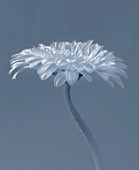 BLACK AND WHITE TONED IMAGE OF WHITE GERBERA AGAINST BLUEY GREY BACKGROUND