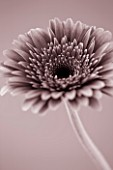 BLACK AND WHITE SEPIA TONED IMAGE OF GERBERA