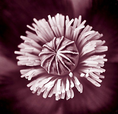 MARINERS_GARDEN__BERKSHIRE__DESIGNER_FENJA_ANDERSON__CLOSE_UP_DUOTONE_IMAGE_OF_THE_FLOWER_OF_PAPAVER