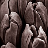 BLACK AND WHITE CLOSE UP DUOTONE IMAGE OF HYACINTH MINOS